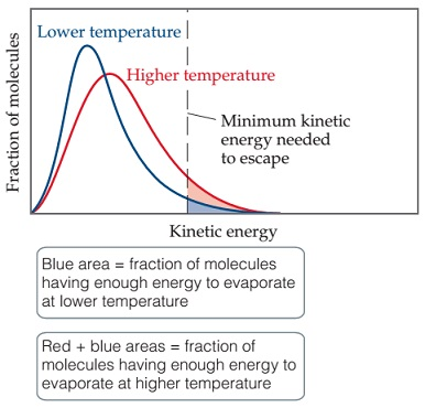 A graph has kinetic energy on the x-axis and fraction of molecules on the y-axis. Midway along the x-axis is a vertical dotted line representing the minimum kinetic energy needed to escape. 2 curves are plotted: 1 for lower temperature and 1 for higher temperature. The lower temperature peak is higher, narrower, and to the left of the higher temperature peak. The right tail of the higher temperature curve crosses the minimum kinetic energy to escape line at a higher point than the right peak of the lower temperature curve, showing that there is a higher fraction of molecules with the kinetic energy to escape at higher temperatures as compared to lower temperatures. These areas are shown in red and blue on the graph; red + blue areas equals fraction of molecules having enough energy to evaporate at higher temperature while blue area = fraction of molecules having enough energy to evaporate at lower temperature. The blue area appears less than half the size of the red plus blue area.
