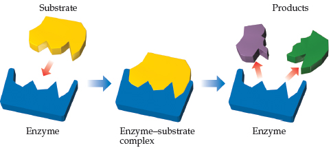 A diagram shows a single substrate is shaped to fit into an enzyme (like a key in a lock), forming the enzyme-substrate complex. The enzyme then releases the two products.