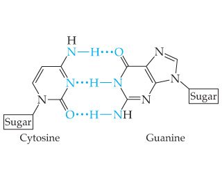 Cytosine and guanine are joined by 3 H-bonds. Cytosine is a 6-membered ring with N at positions 1 and 3 and an NH2 group bonded to C4. C2 is double bonded to an O. There are double bonds in the ring, 1 between N3 and C4 and another between C5 and C6. N1 is bound to the sugar. The NH2 group, N3 and the O all engage in H-bonding with guanine. Guanine is bicyclic and structurally similar to adenine. C6 is double-bonded to an O (instead of an NH2 group). C2 is bonded to an NH2 group. Guanine is lacking a double-bond between N1 and C6. N9 is bound to the sugar. The NH2 connected to C2 bonds with cytosines O. Guanines H bonded to N1 binds with cytosines N3. And guanines O binds with an H of NH2 group bonded to C4 of cytosine.