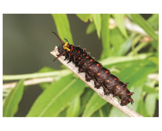 Photograph of a caterpillar climbing a twig.