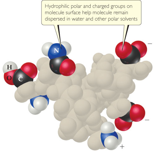 Hydrophilic polar and charged groups on a molecule's surface help the molecule remain dispersed in water and other polar solvents. A space-filling model shows a globular particle in which only some of the surface groups are labeled. These groups include NH2, CO, COOH, COO-, and NH3+.
