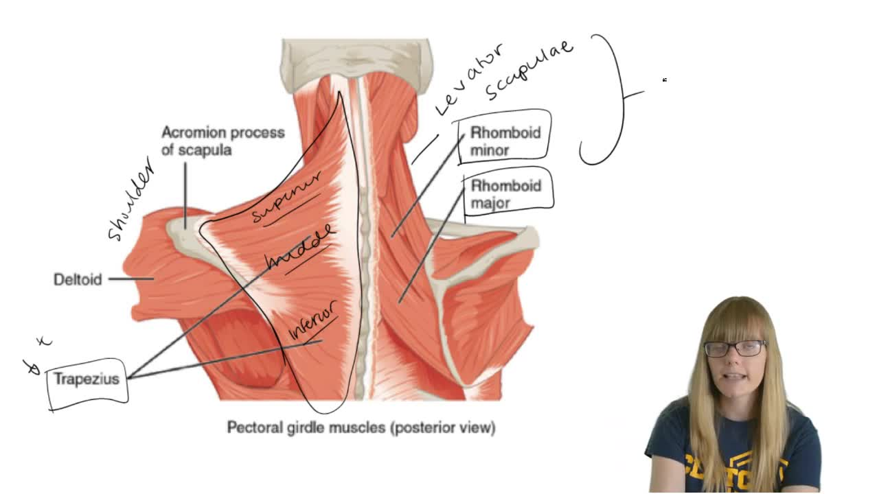 Pectoral Girdle Muscles - Anatomy & Physiology Video | Clutch Prep