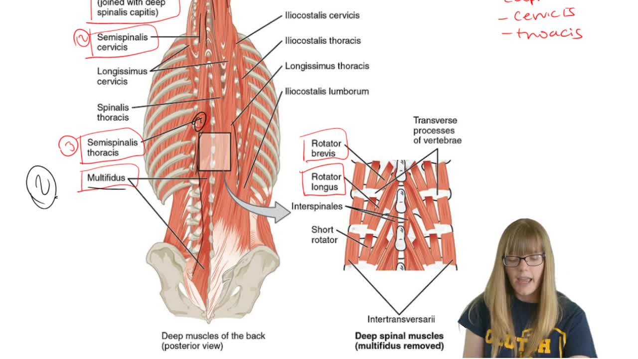 Vertebral Column Muscles - Anatomy & Physiology | Clutch Prep