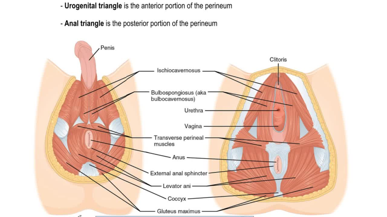 Pelvic Floor Muscles - Anatomy & Physiology Video | Clutch Prep