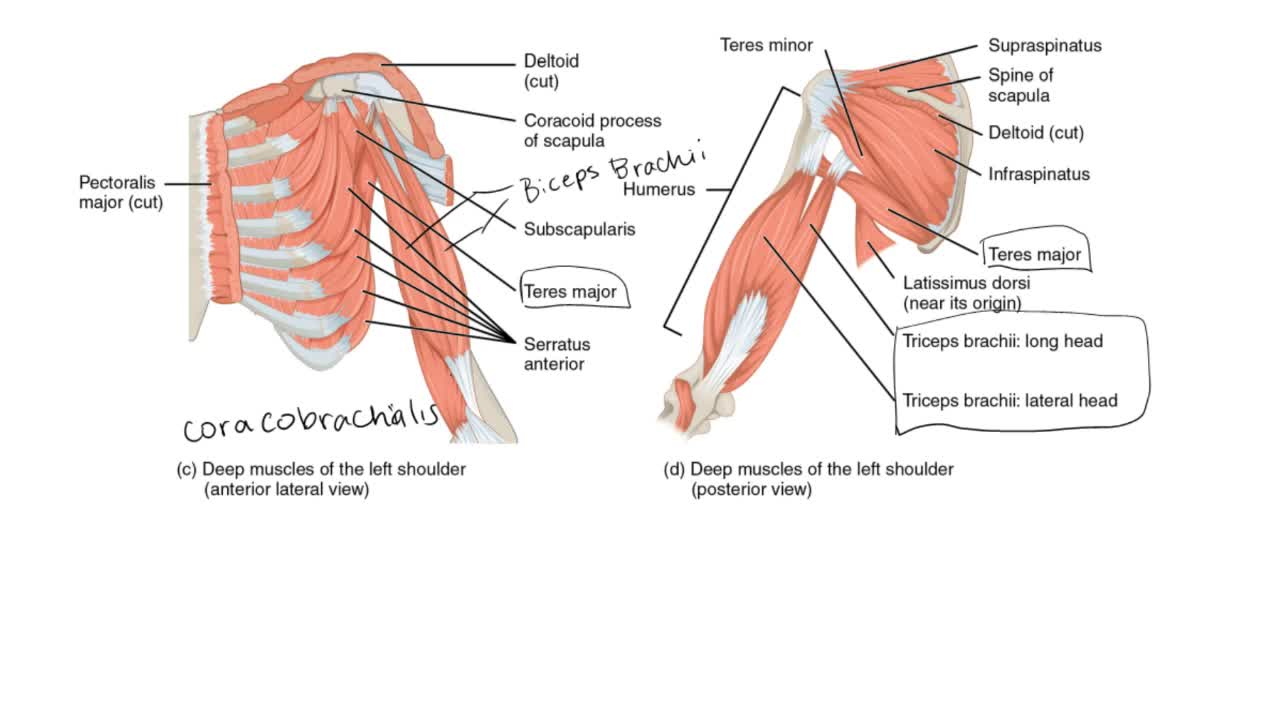 Glenohumeral Joint Muscles Anatomy Physiology Clutch Prep