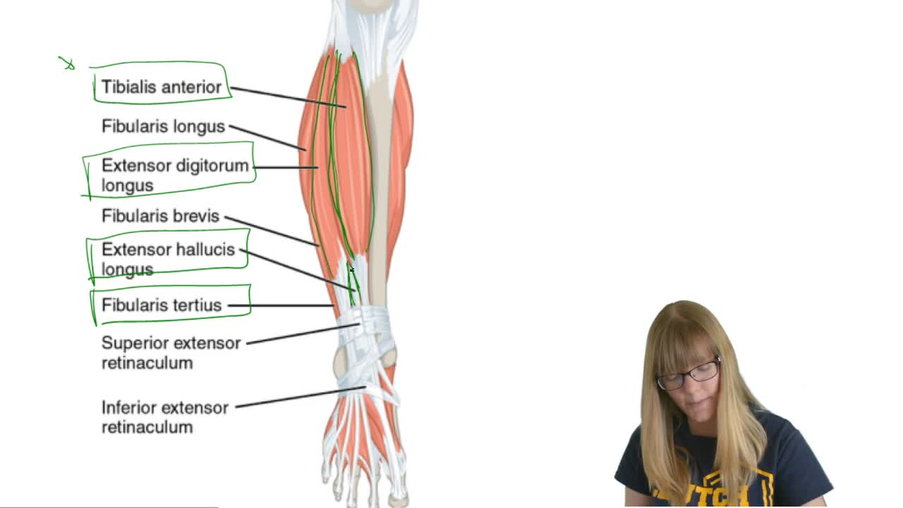 Extrinsic Ankle and Foot Muscles - Anatomy & | Clutch Prep