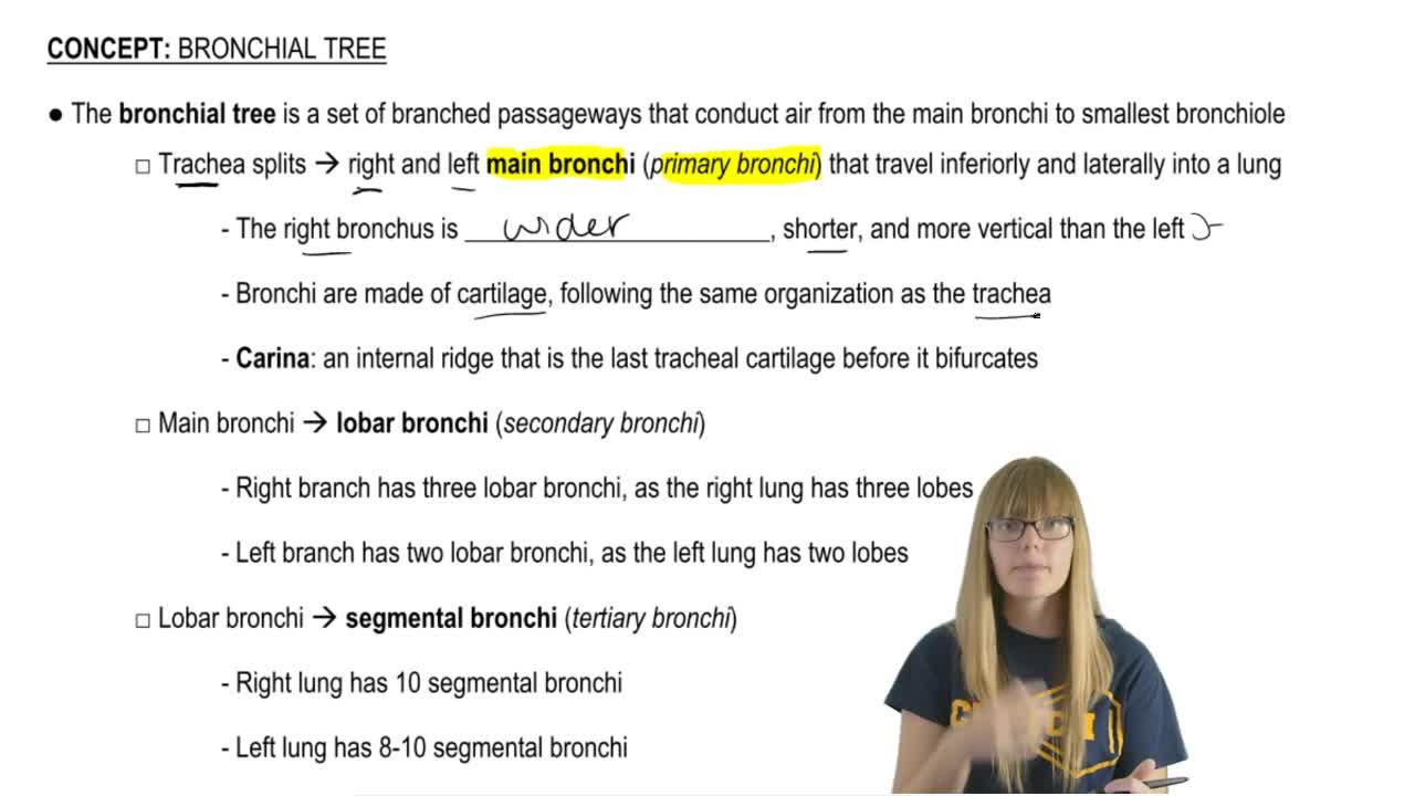 Bronchial Tree Anatomy Anatomy Physiology Video Clutch Prep