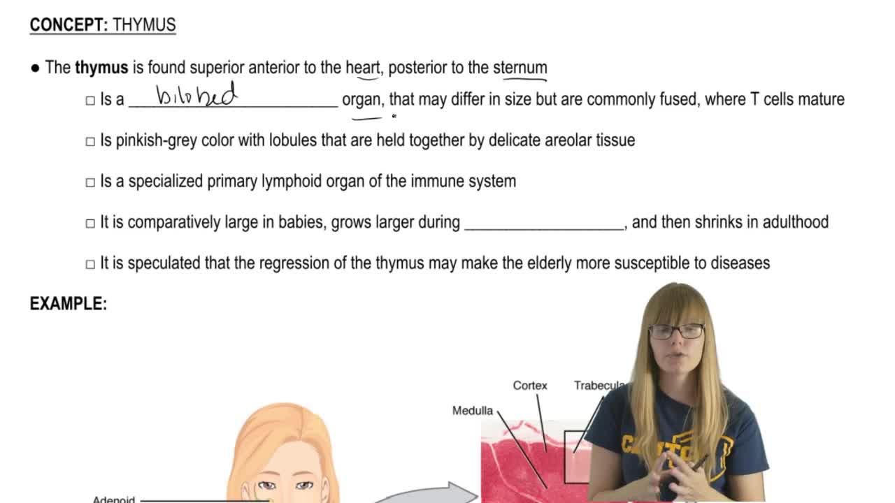 Thymus Anatomy - Anatomy & Physiology Video | Clutch Prep