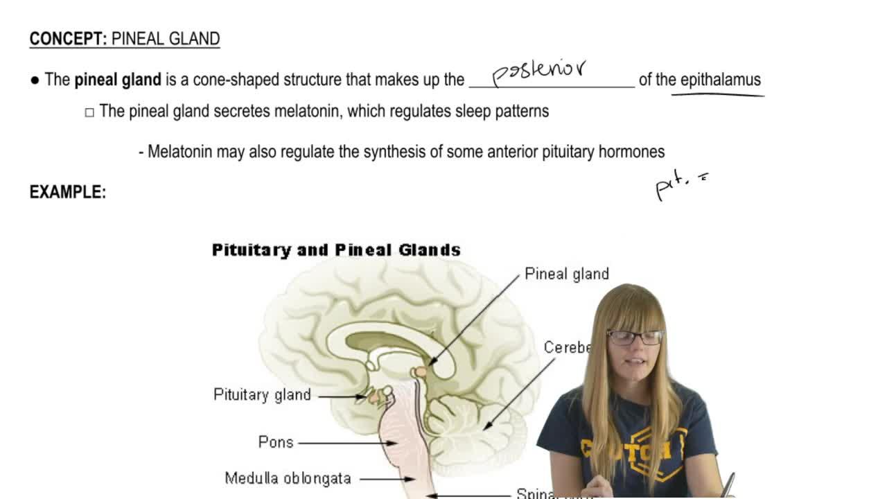 Pineal Gland Anatomy - Anatomy & Physiology Video | Clutch Prep