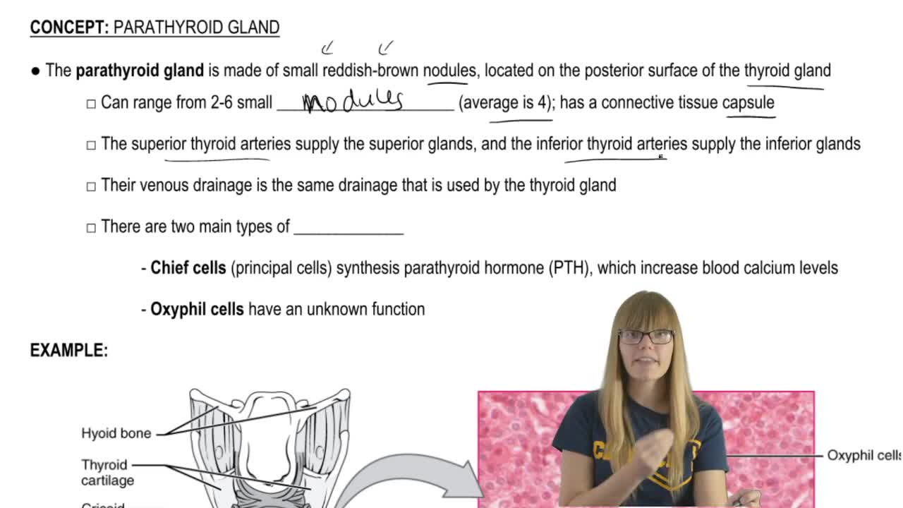 Perfecto Anatomy And Physiology Of Parathyroid Gland Adorno ...