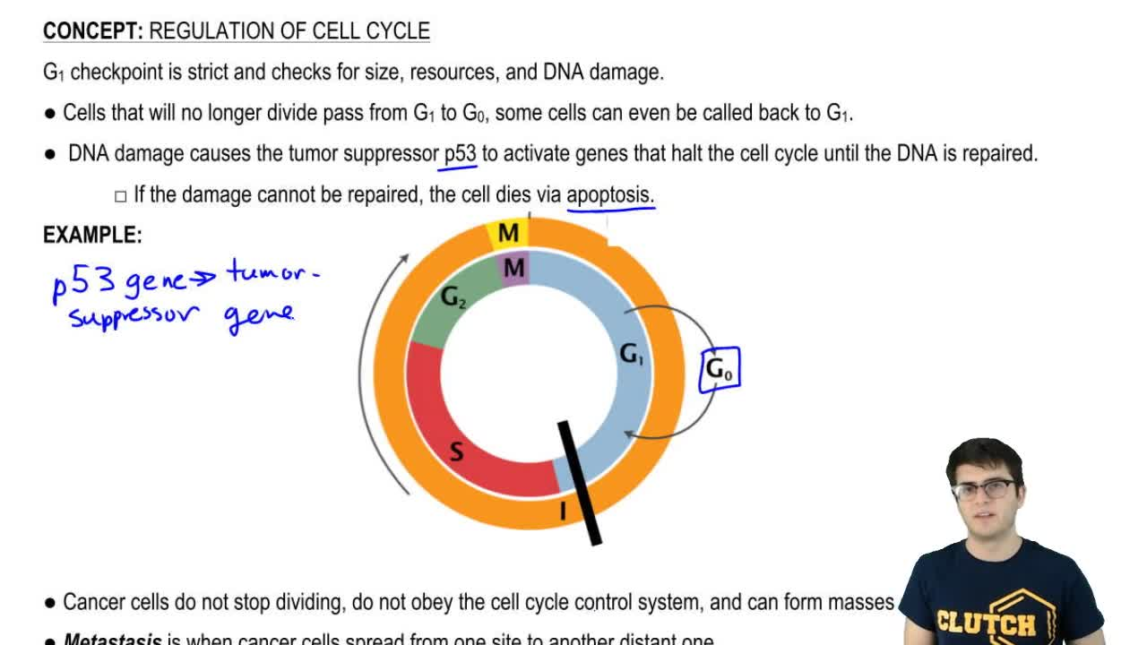 regulation of the cell cycle biology essay Cell-cycle arrest is restricted to the mitotically active stem-cell population in the distal region of the gonad arms, while cell death occurs only in the meiotic pachytene regions in adult hermaphrodites.